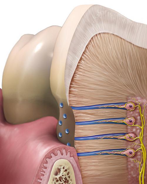расположен дентин зуба.